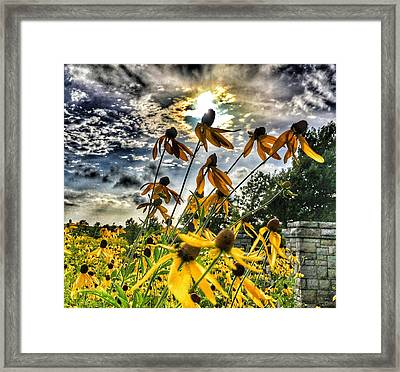 Black Eyed Susan Framed Print by Sumoflam Photography