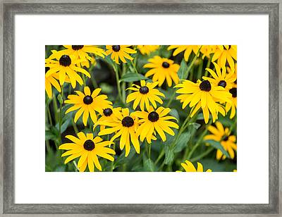 Black-eyed Susan Up Close Framed Print