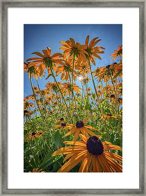 Black-eyed-susans Bask In The Sun Framed Print