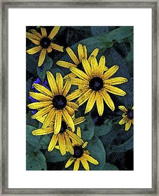 Black-eyed Susans Framed Print by Debra Wilkinson