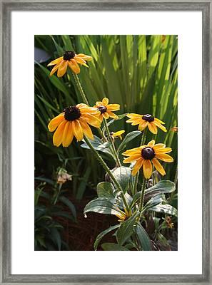 Black-eyed Susans Framed Print by Greg Joens
