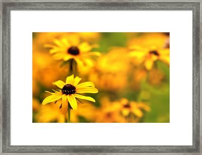 Black Eyed Susans Framed Print by Jim Dohms