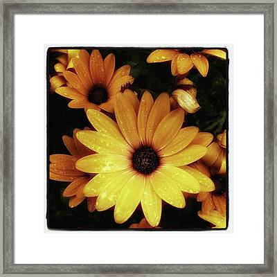 Framed Print featuring the photograph Black Eyed Susans. Looks Like They're by Mr Photojimsf