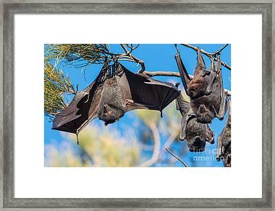 Black Flying Fox Bats Framed Print