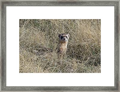 Black-footed Ferret Checks Out Its Surroundings Framed Print by Tony Hake