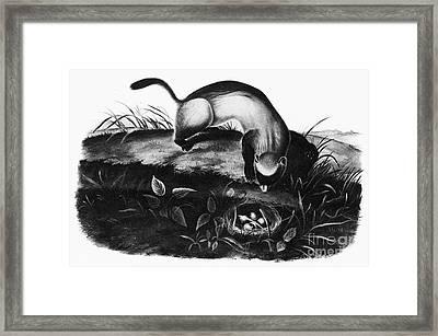 Black-footed Ferret Framed Print by Granger