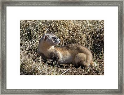Black-footed Ferret Keeps Watch Framed Print by Tony Hake