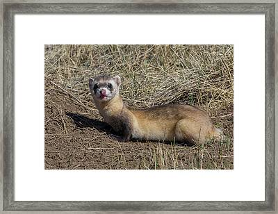 Black-footed Ferret Licks Its Chops Framed Print by Tony Hake