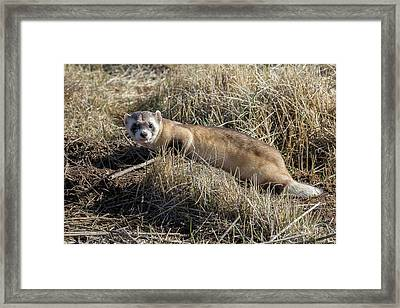 Black-footed Ferret On The Prowl Framed Print by Tony Hake