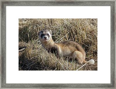 Black-footed Ferret Poses Framed Print by Tony Hake