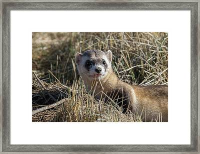 Black-footed Ferret Up Close Framed Print by Tony Hake