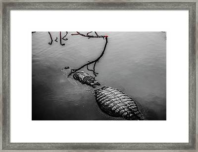 Black Gator Framed Print