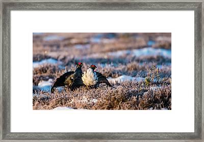 Black Grouses Framed Print by Torbjorn Swenelius