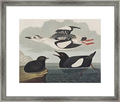 Black Guillemot Framed Print by John James Audubon