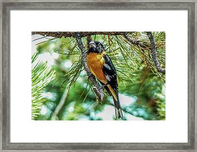 Black-headed Grosbeak On Pine Tree Framed Print