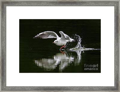 Black-headed Gull Chroicocephalus Ridibundus In Winter Plumage Framed Print