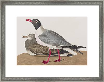 Black-headed Gull Framed Print by John James Audubon