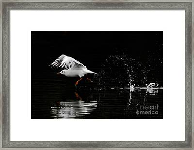 Black-headed Gull - Low Key Framed Print