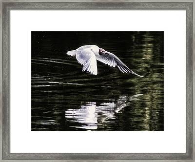 Black Headed Gull Framed Print by Martin Newman