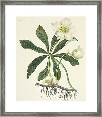 Black Hellebore Or Christmas Rose Framed Print