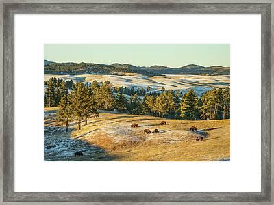 Black Hills Bison Before Sunset Framed Print by Bill Gabbert