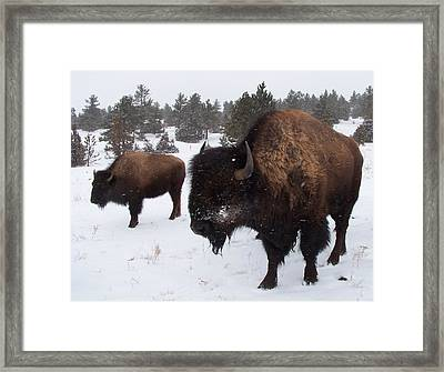 Black Hills Bison Framed Print