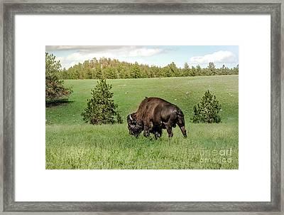 Black Hills Bull Bison Framed Print by Robert Frederick