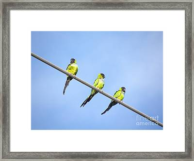 Framed Print featuring the photograph Black Hooded Parakeet Trio by Terri Mills