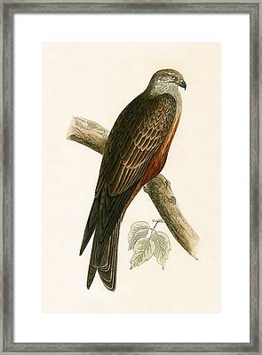 Black Kite Framed Print by English School