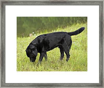 Black Lab In Grass Framed Print by Susan Leggett
