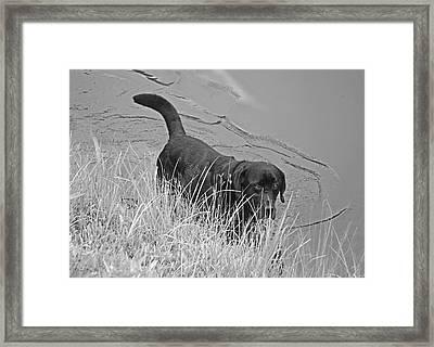 Black Lab In Water Framed Print by Susan Leggett