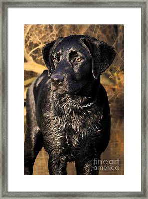 Black Labrador Retriever Dog Framed Print