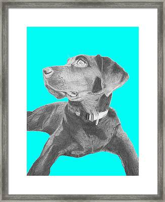 Black Labrador Retriever With Blue Background Framed Print by David Smith