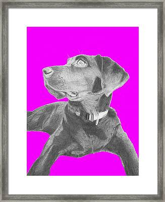 Black Labrador Retriever With Pink Background Framed Print by David Smith