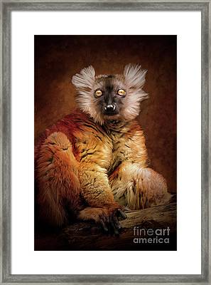 Black Lemur Framed Print