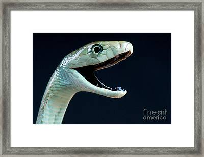 Black Mamba Framed Print by Reptiles4all