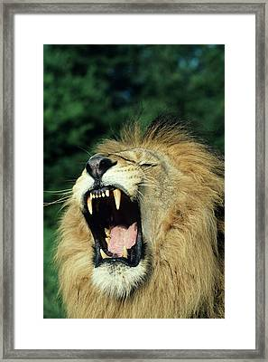 Black-maned Male African Lion Yawning, Headshot, Africa Framed Print