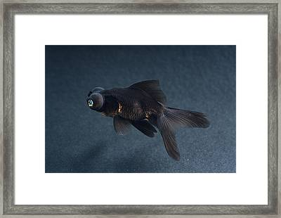 Black Moor Ornamental Fish Framed Print by David Aubrey