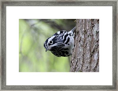 Black-n-white Warbler Framed Print