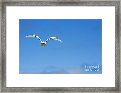 Black-naped Tern Framed Print by Dave Fleetham - Printscapes