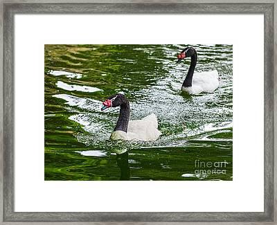 Black Neck Swan Swim Framed Print