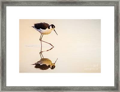 Black-necked Stilt Framed Print by Emily Bristor