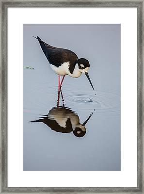 Black-necked Stilt Reflection Framed Print by Andres Leon