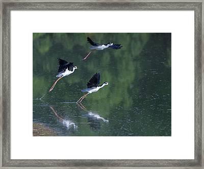 Black-necked Stilts 4302-080917-2cr Framed Print