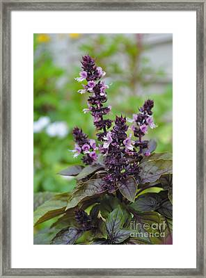 Black Opal Basil Flower Framed Print