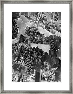 Black Or White Grapes Framed Print by Dorothy Berry-Lound
