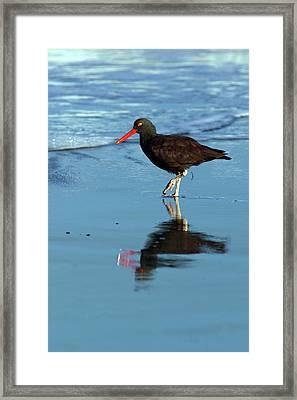 Black Oystercatcher Framed Print by Randall Ingalls