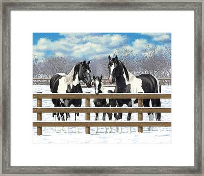 Black Paint Horses In Snow Framed Print by Crista Forest