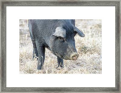 Framed Print featuring the photograph Black Pig Close-up by James BO Insogna