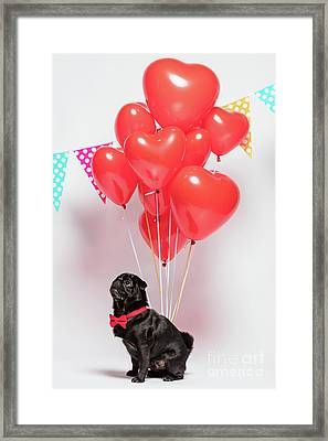 Black Pug Dog With Heart-shaped Baloons. Framed Print